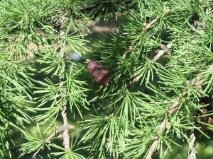цъфтеж на сибирска лиственица